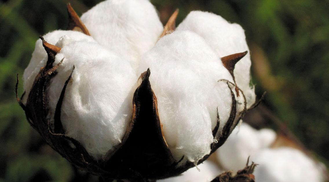 Какую зерновую культуру выращивают растениеводы?